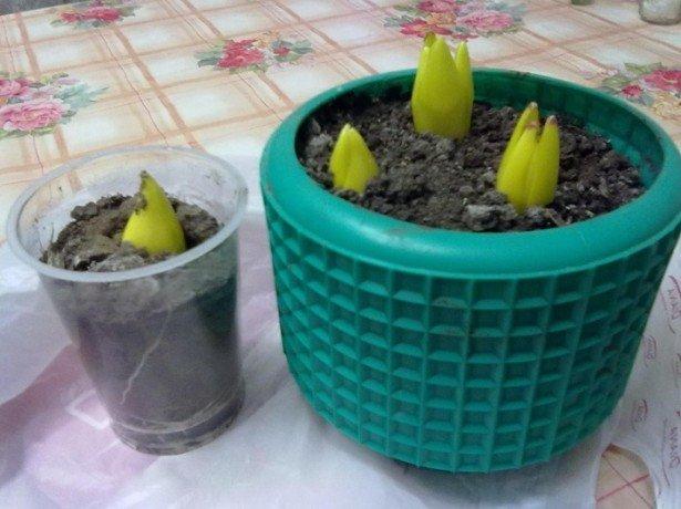 Як правильно садити тюльпани в домашніх умовах
