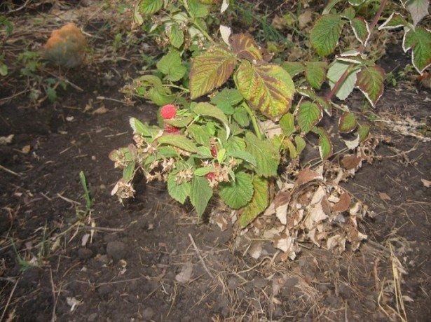 Добриво малини восени-запорука майбутнього врожаю