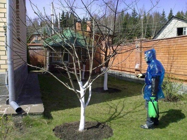 Догляд за вишнею восени, включаючи обробку і підгодівлю дерев