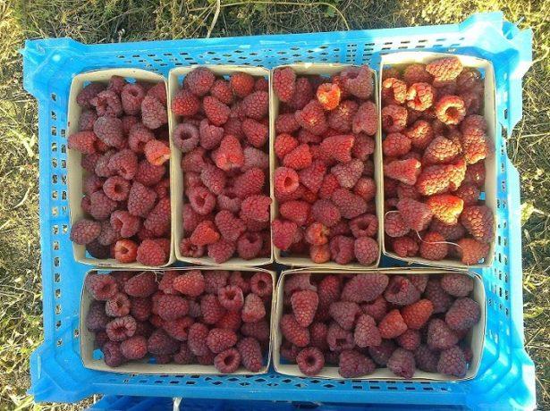 Ремонтантний сорт малини карамелька: як виростити хороший урожай