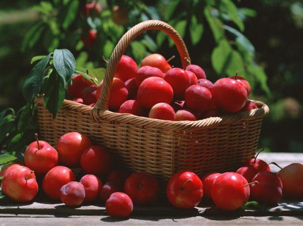Слива червона куля — як виростити китайський сорт в російській саду?