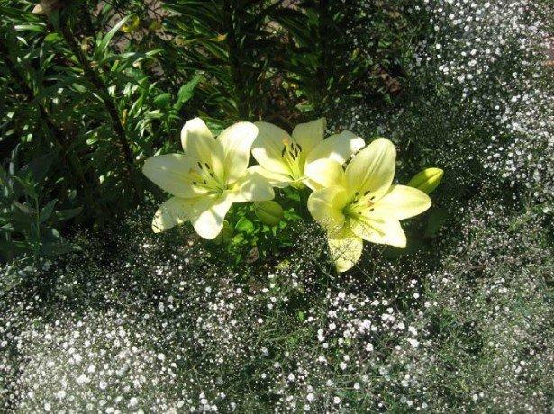 В які терміни садити лілії восени і чи можна це робити з паростками