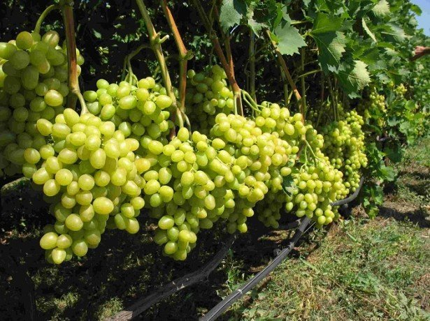 Як виростити виноград з кісточки і на який результат розраховувати?