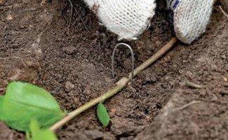 Чорноплідна горобина-вирощування і догляд