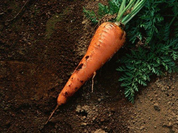 Шкідники, що гризуть моркву, і поширені хвороби морквини-як з ними впоратися