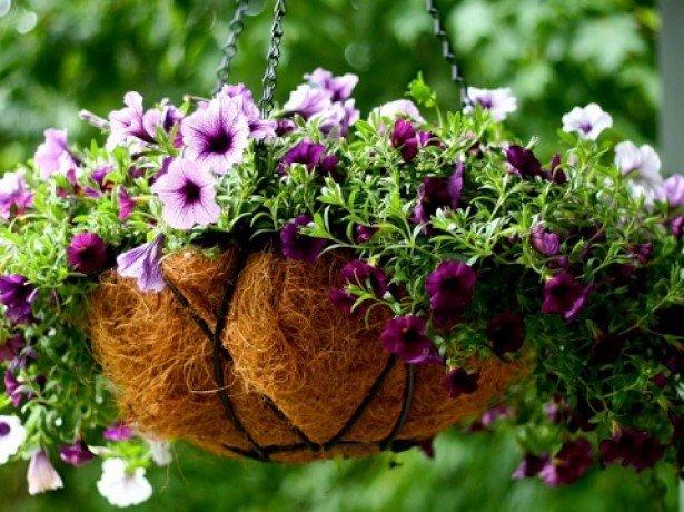 Вирощування розсади петунії своїми руками