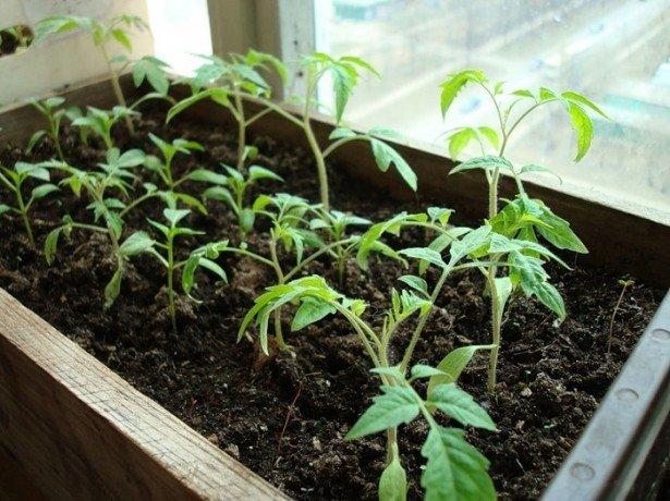 Вирощування розсади помідорів на підвіконні: як домогтися відмінного результату?