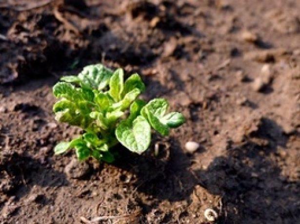 Ефективні способи і технології посадки картоплі