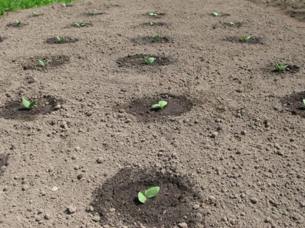 Огірки сибірська гірлянда: новий сверхурожайний сорт