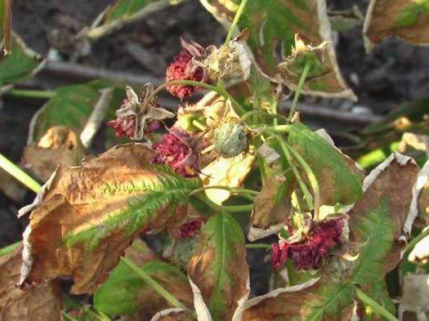 Чому сохне кущ малини з ягодами