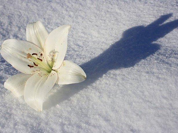 Зимівля лілій-залишати лілії на зиму в грунті або викопувати?